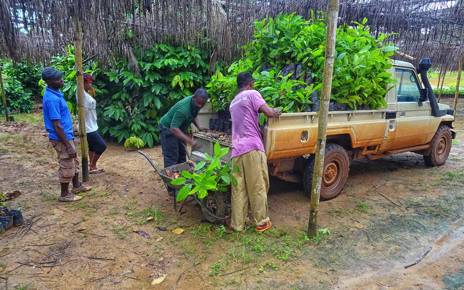 Livraison des plants de cacao aux populations autochtones mod